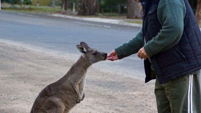 South Australia Grampians Halls Gap Kangaroo
