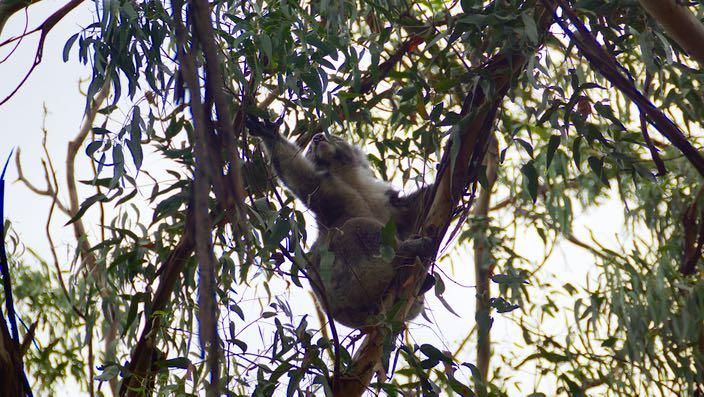 Australia Victoria Great Ocean Road Koala