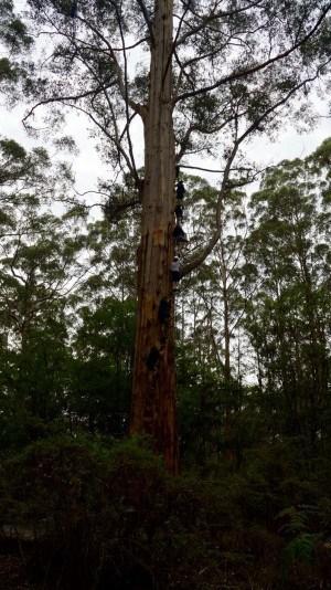 Gloucester Tree Pemberton Australia