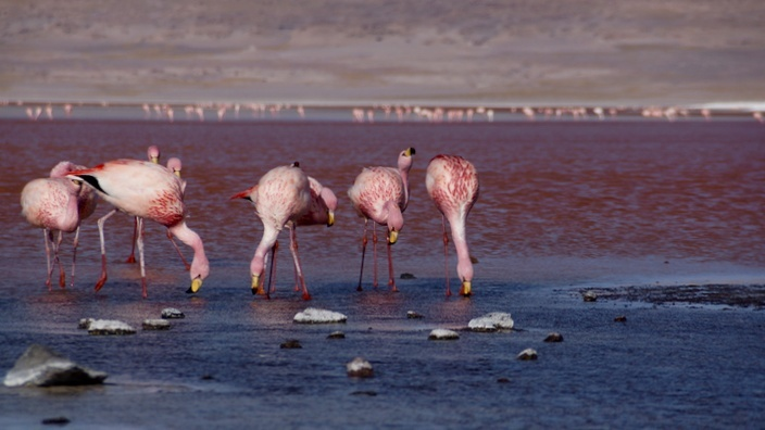 Bolivien Laguna Colorada Flamingos
