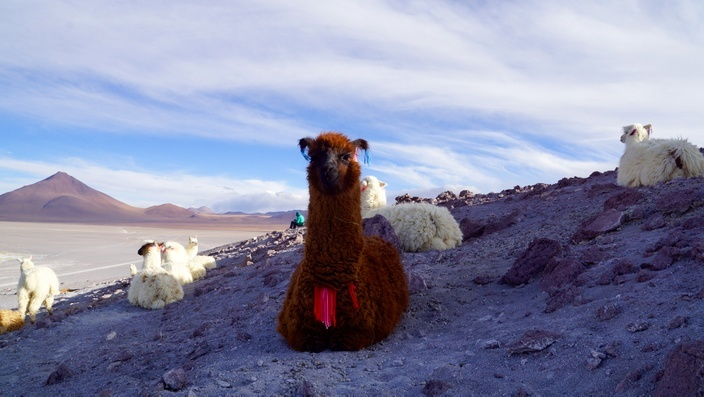 Bolivien Laguna Colorada Lama