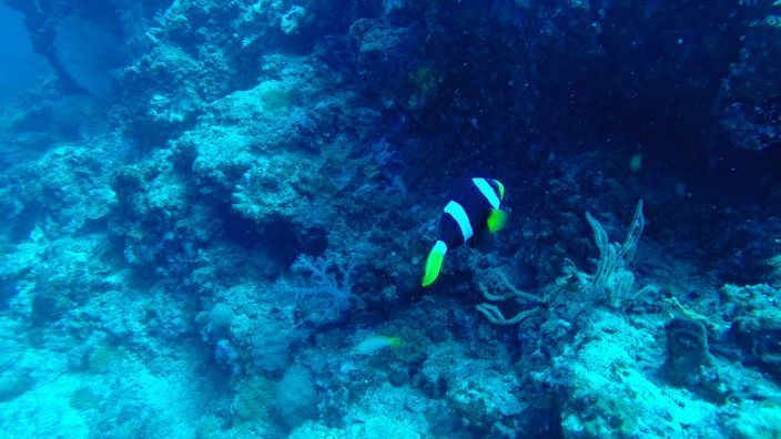 Scubadiving Koh Lanta clown fish