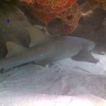 Diving Mexico Nurse Shark