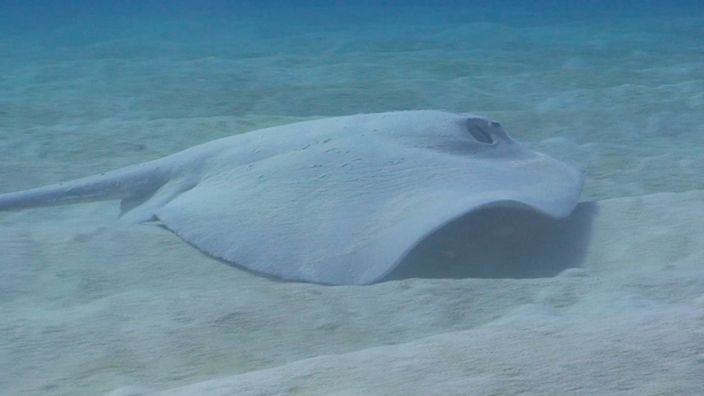 Diving Stingray