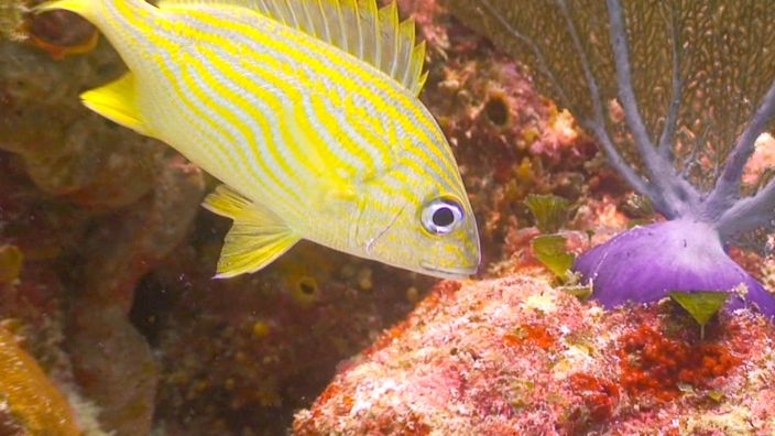Scubadiving fish yellow