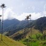 Wachspalme Valle de Cocora Salento
