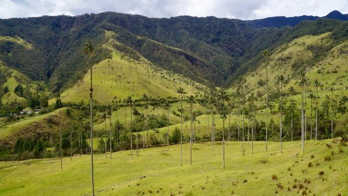 Wachspalmen Valle de Cocora Salento