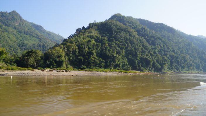 Laos Mekong Water Buffalo
