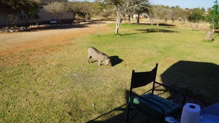 Namibia Outjo pig