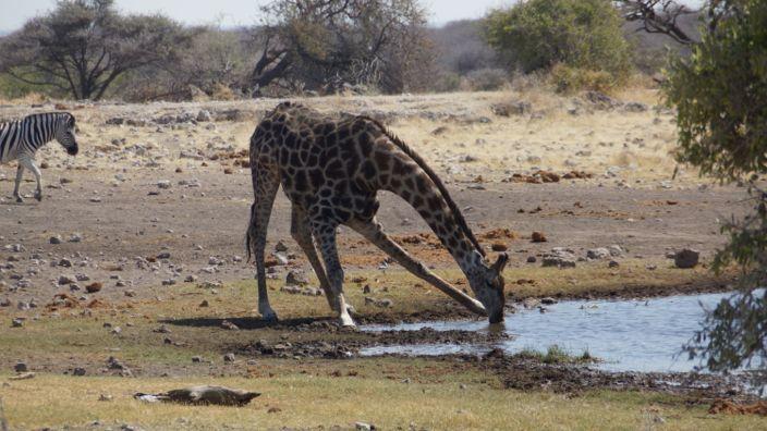 Namibia Etosha National Park giraffe