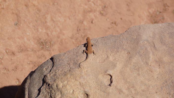 Namibia Twyfelfontein gecko