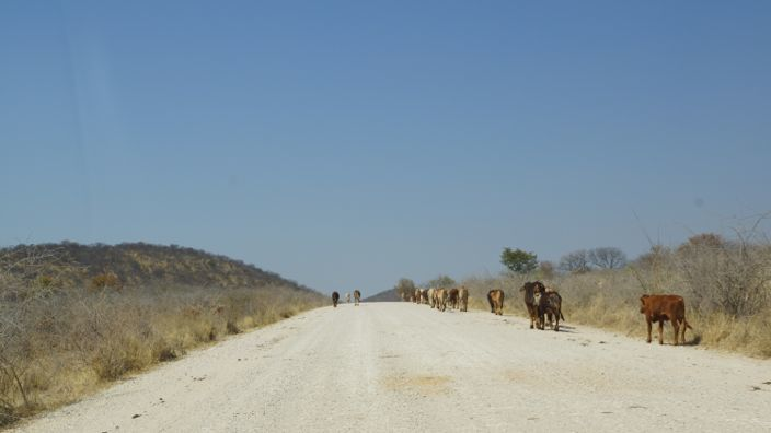 Namibia Road-Trip cow