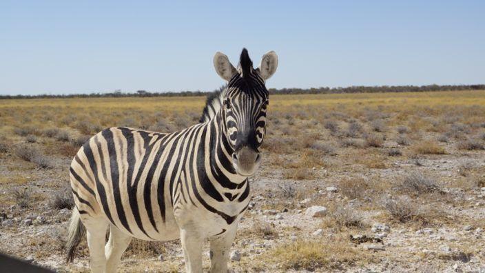 Namibia Etosha National Park Zebra