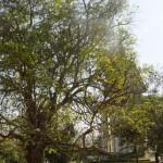 Killing Fields Phnom Penh Magic Tree
