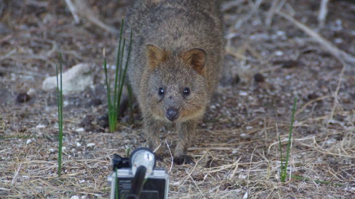 Rottnest Island Australia Quokka