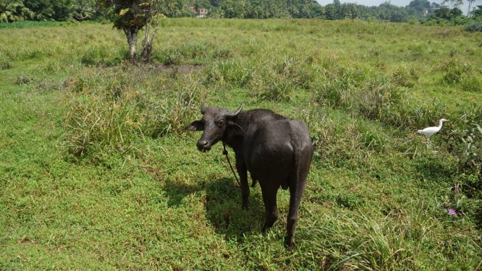 Sri Lanka Waterbuffalo